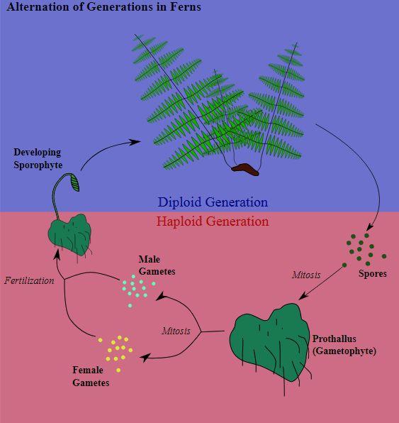 Heterophasischer Generationswechsel bei Farnen